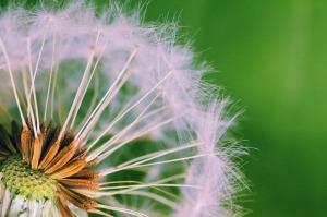 dandelion-199269_640
