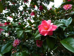 camellia-65804_640