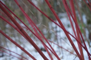 red-dogwood-271274_640